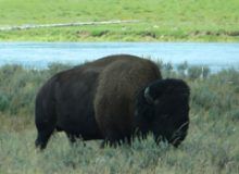 bison-feature